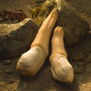 geoduck on beach