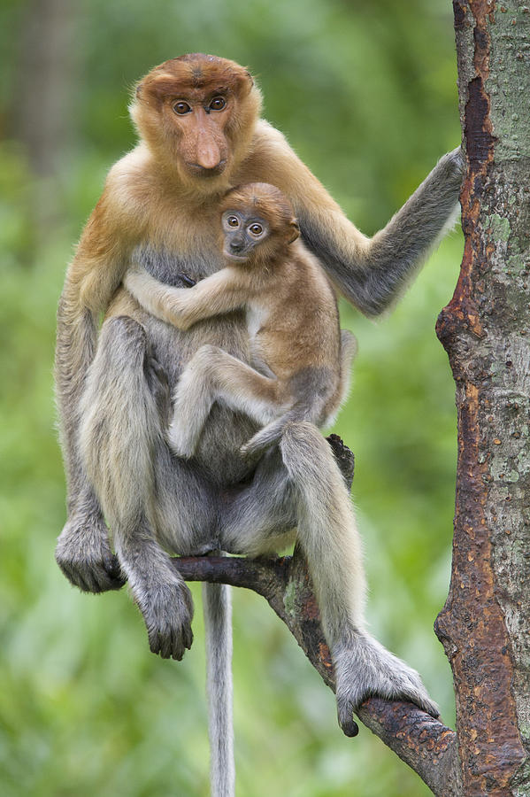 Proboscis monkey with kid