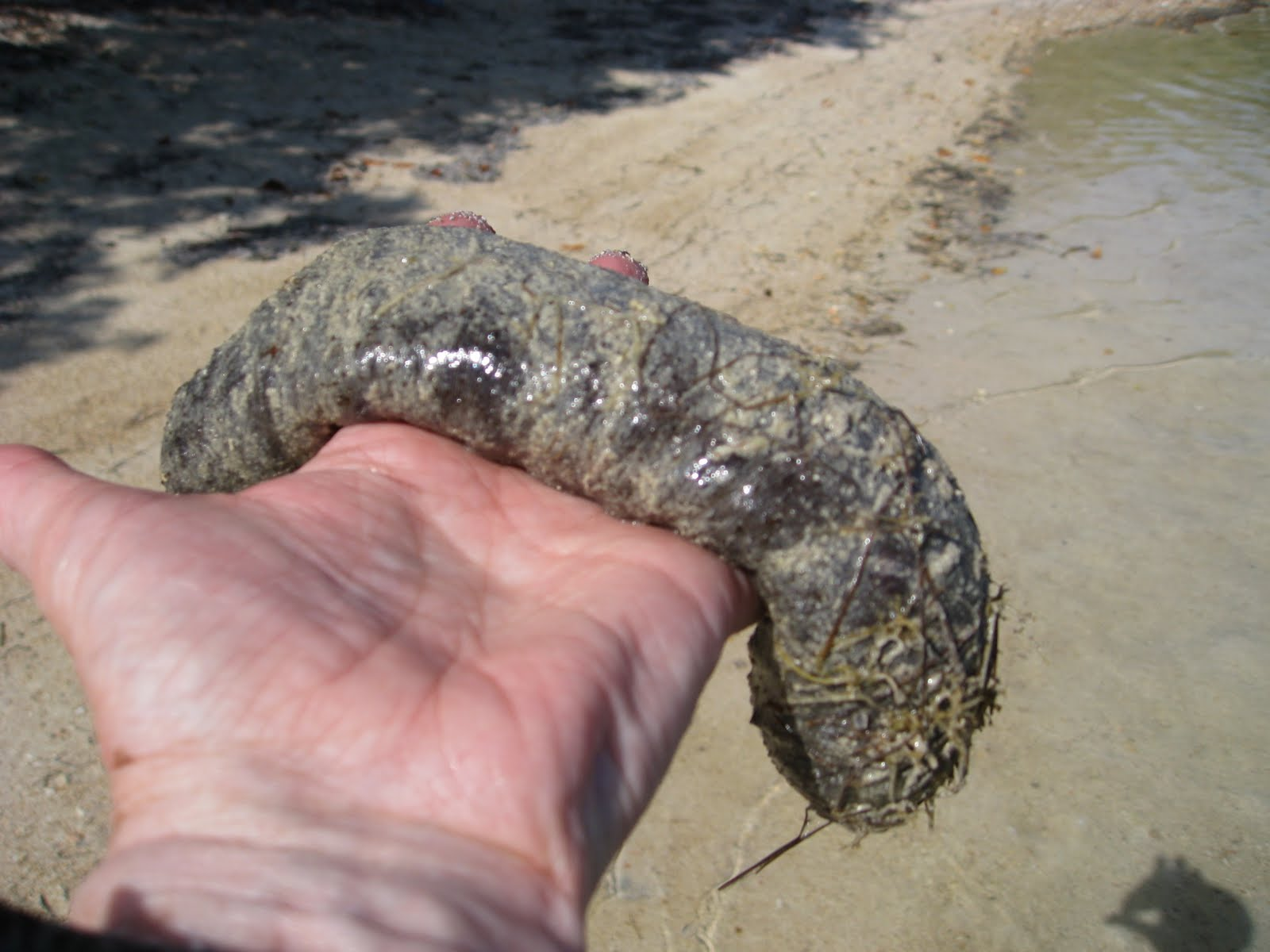 erotic sea cucumber