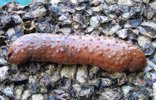 sea cucumber like penis