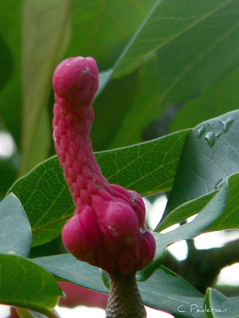 red erotic flower