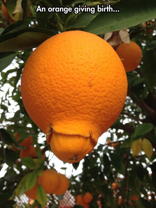an orange is giving birth