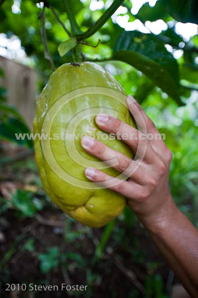 size of giant passion fruit