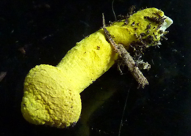 penis-shaped yellow mushroom
