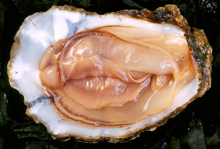 sexy oyster