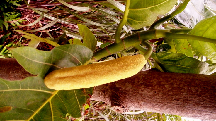 breadfruit penis