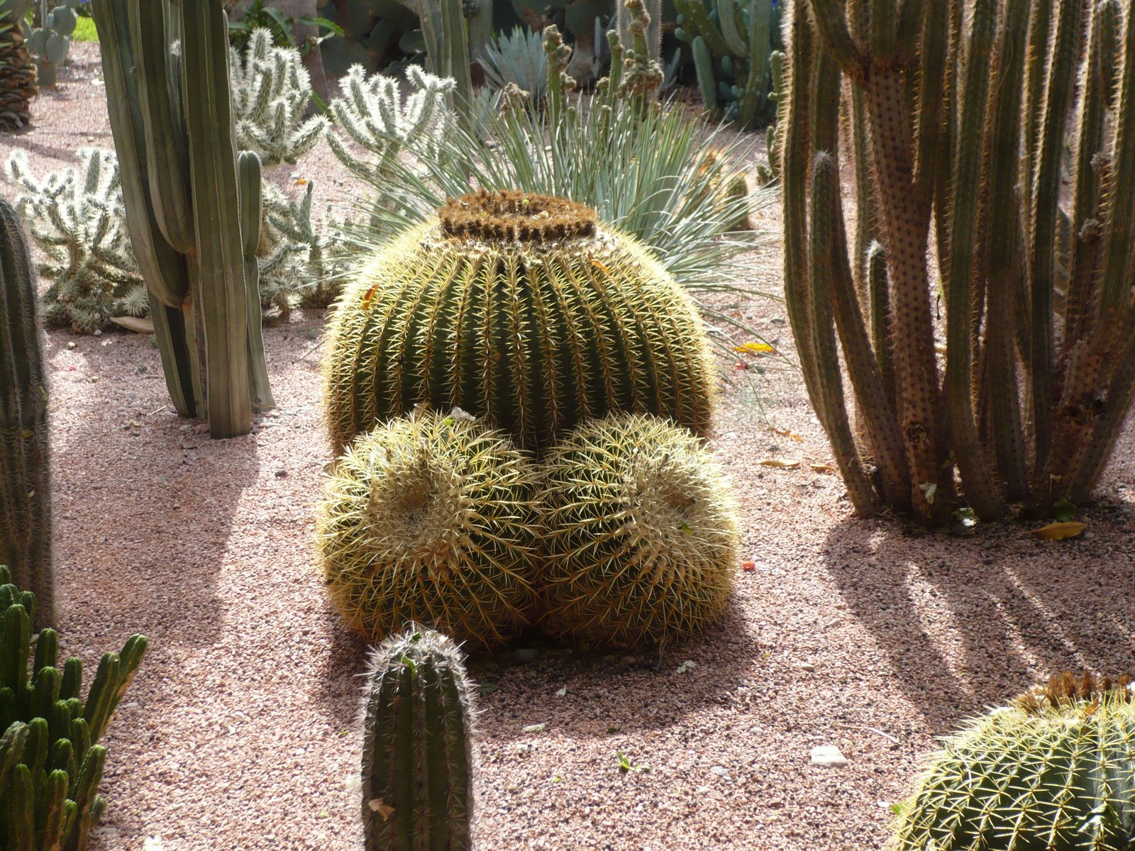 cactus with boobs