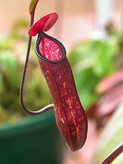 Pitcher plant - condom from mother-nature