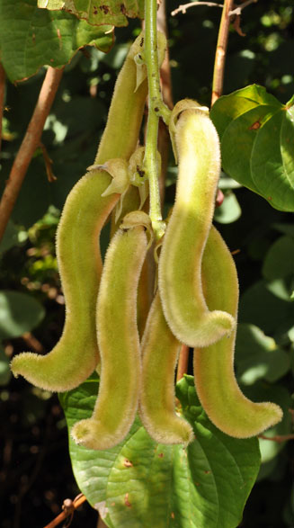Mucuna pruriens (Cow itch, Bengal bean, Velvet bean) penis-shaped